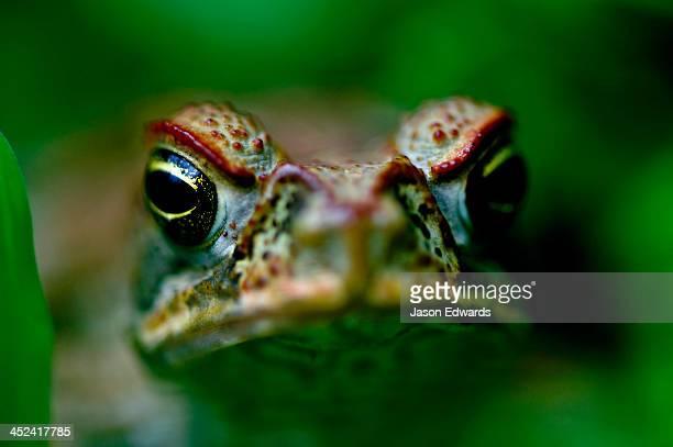bouma falls, bouma national heritage park, taveuni island, pacific ocean, fiji islands. - cane toad stock pictures, royalty-free photos & images
