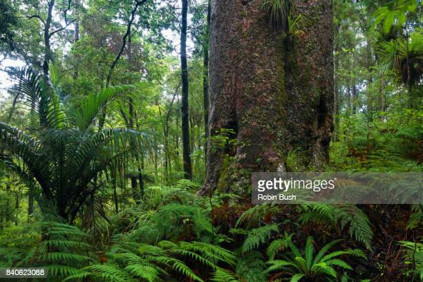 Giant New Zealand Kauri Tree, Northland
