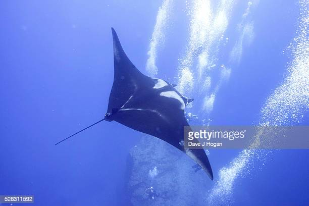 Giant Oceanic Manta Rays which can grow up 7 meters arrive at a cleaning station off the coast of Socorro Island and pause to receive a massage from...