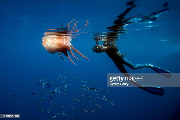 A Giant Octopus killed by a Sperm Whale, sheltering Horse Mackerels