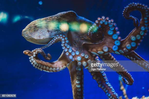 giant octopus - octopus stock pictures, royalty-free photos & images
