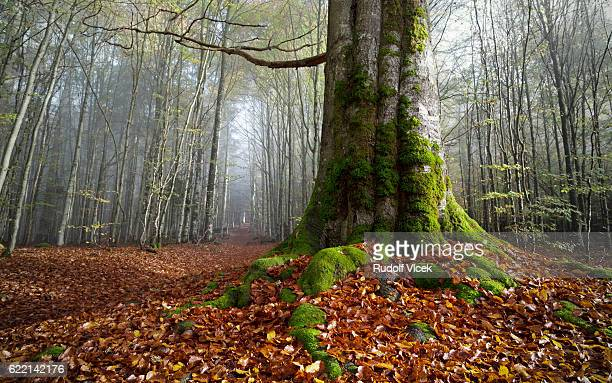Giant old gnarled European Beech tree, autumn foliage, forest