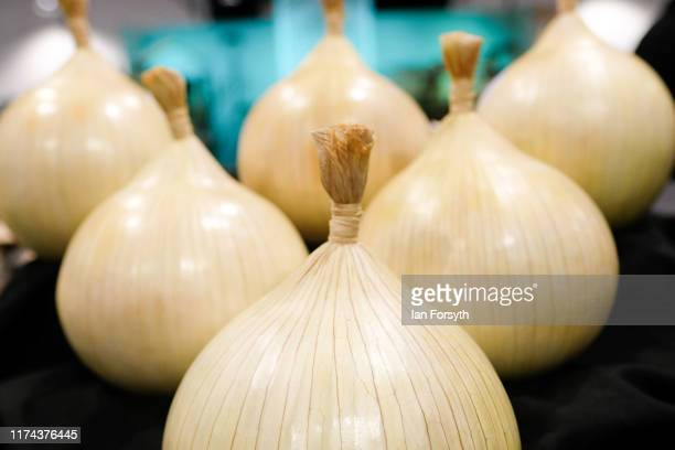 Giant onions are displayed ahead of judging for the giant vegetable competition at the Harrogate Autumn Flower Show on September 13 2019 in Harrogate...