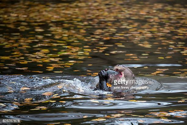 Giant otter biting on a rainbow trout fish while swimming. Peak District. Derbyshire. UK