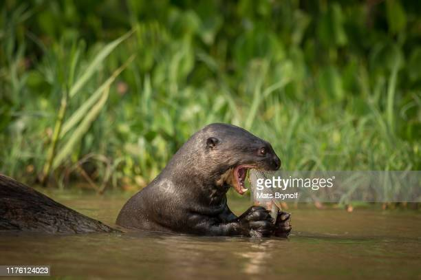giant otter eating fish - giant otter stock pictures, royalty-free photos & images