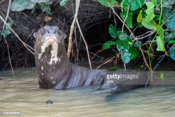 giant otter (pteronura brasiliensis), endangered species, pantanal, mato grosso, brazil - giant otter stock pictures, royalty-free photos & images