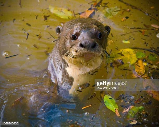 giant otter (pteronura brasiliensis) in water - guyana stock pictures, royalty-free photos & images