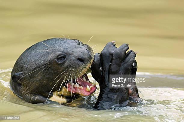 Giant Otter, Pteronura brasiliensis, wild. Feeding on fish. Pixaim River, Pantanal, Brazil