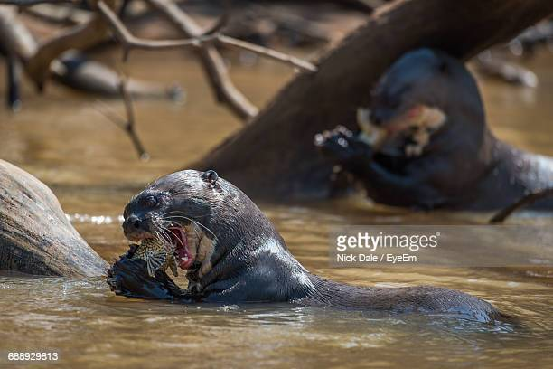 Giant Otters Eating Fish In River