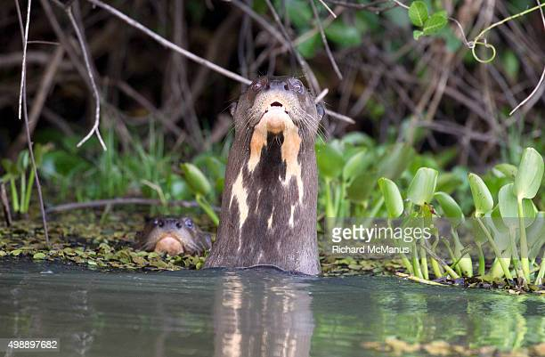 Giant otters in river looking at camera