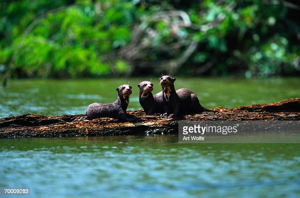 Giant otters (Pteronura brasiliensis) on logs, Peru