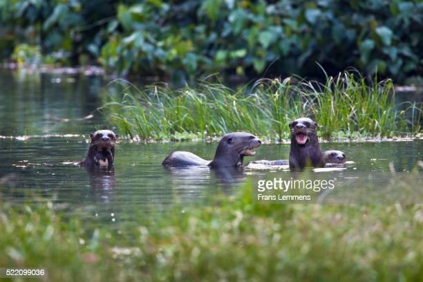 Giant otters, ( Pteronura brasiliensis ) swimming in water, Manu National Park, Boca Manu, Blanquillo, Peru