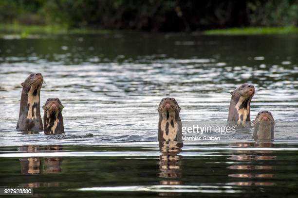 Giant otters (Pteronura brasiliensis) with heads above water, Rio Negro, Pantanal, Mato Grosso do Sul, Brazil