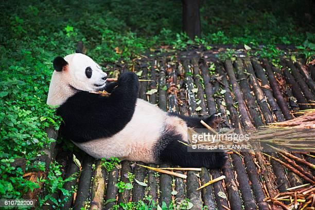 giant panda 3 - panda stock pictures, royalty-free photos & images