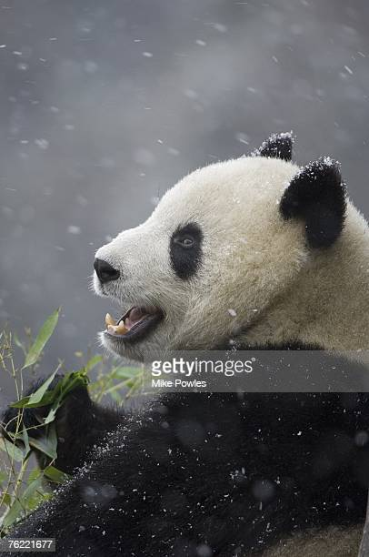 Giant Panda, Ailuropoda melanoleuca, adult eating bamboo in falling snow, Wolong Giant Panda Research Center, Wolong National Nature Reserve, China, captive