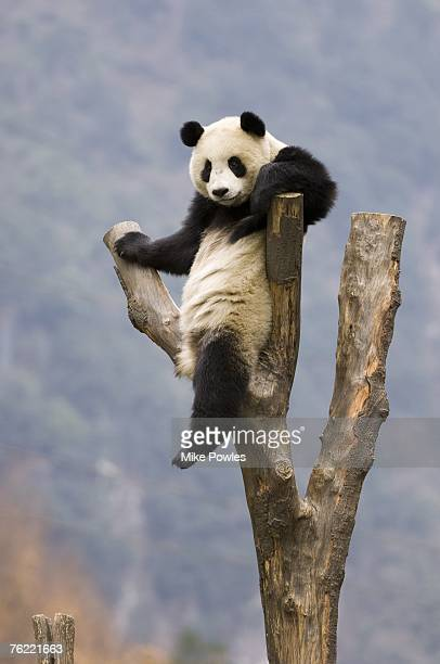 giant panda, ailuropoda melanoleuca, adult in tree, wolong giant panda research center, wolong national nature reserve, china, captive - giant panda stock pictures, royalty-free photos & images