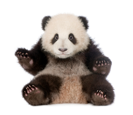 Giant Panda (6 months) - Ailuropoda melanoleuca 92251034