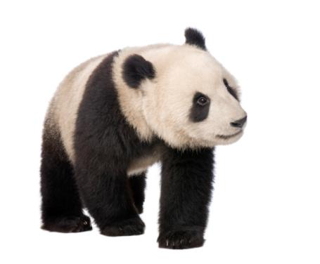 Giant Panda (18 months) - Ailuropoda melanoleuca 93216522