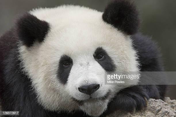 giant panda, ailuropoda melanoleuca, portrait, wolong giant panda research center, wolong national nature reserve, china, captive - パンダ ストックフォトと画像