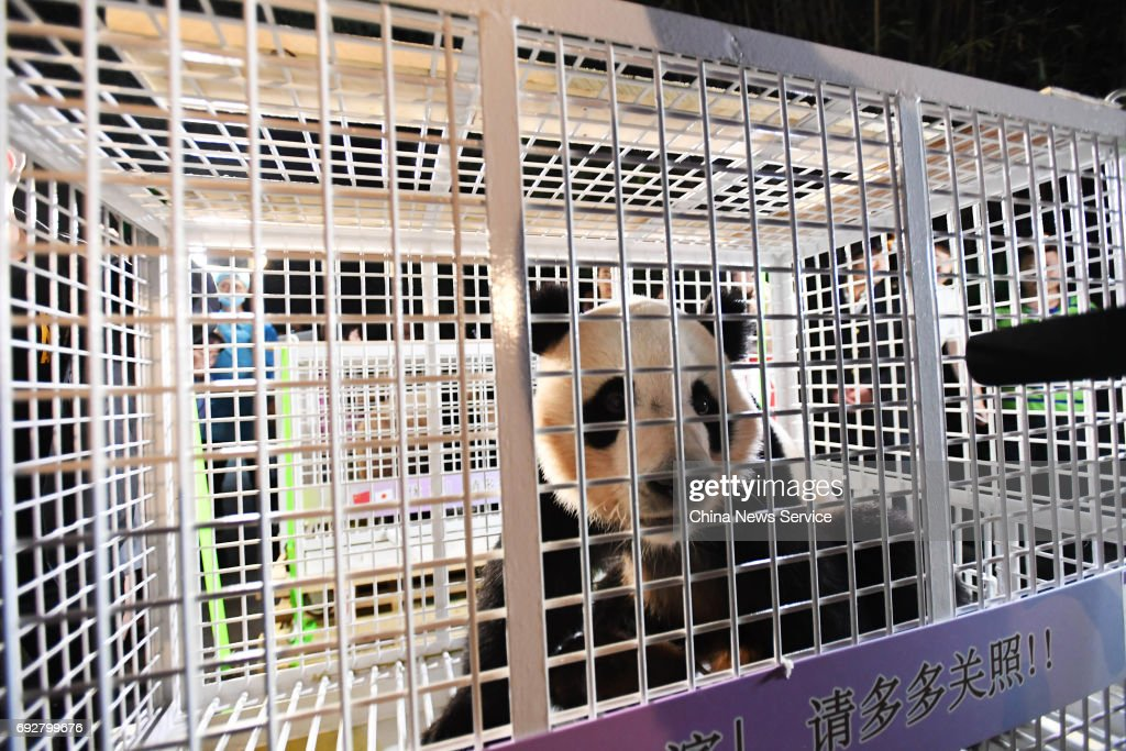 A giant panda arrives at the Chengdu Research Base of Giant Panda Breeding on June 6, 2017 in Chengdu, Sichuan Province of China. Pandas called Yang Bang, Hai Bang and You Bang born in Japan return to Chengdu Research Base of Giant Panda Breeding in China. They will meet visitors after a month's quarantine.