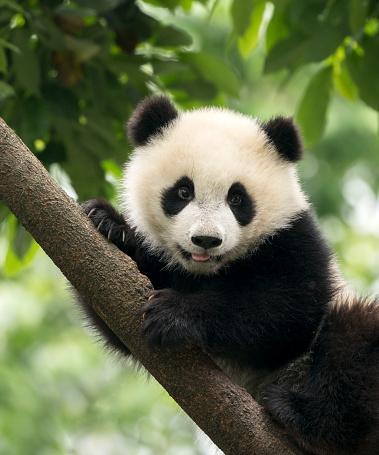 Giant Panda baby cub in Chengdu area, China 539113690