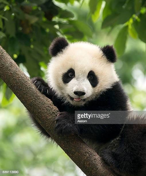 giant panda baby cub in chengdu area, china - panda animal stock photos and pictures