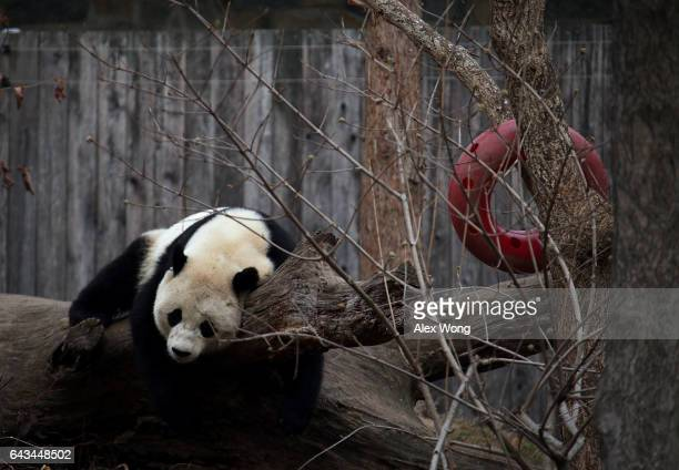 Giant panda Bao Bao plays in her outdoor habitat at the Smithsonian's National Zoo February 21 2017 in Washington DC Bao Bao is departing for Chengdu...