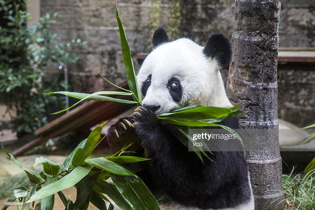 Giant panda Basi eats bamboo during its 35th birthday at Fuzhou Panda World on November 28, 2015 in Fuzhou, Fujian Province of China. Basi celebrated her 35th birthday which roughly equals 130 years in human age. It is currently the oldest living panda so far in the world. Basi visited the U.S. San Diego Zoo for shows in 1987. She attracted around 2.5 million visitors during her six-month stay in the United States and amazed many visitors by her acrobatic performances. In 1990, she was chosen as the prototype for Pan Pan, the mascot for the Beijing Asian Games.