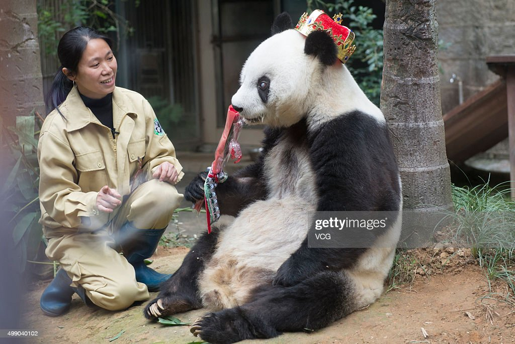 Giant panda Basi holds a rose during its 35th birthday at Fuzhou Panda World on November 28, 2015 in Fuzhou, Fujian Province of China. Basi celebrated her 35th birthday which roughly equals 130 years in human age. It is currently the oldest living panda so far in the world. Basi visited the U.S. San Diego Zoo for shows in 1987. She attracted around 2.5 million visitors during her six-month stay in the United States and amazed many visitors by her acrobatic performances. In 1990, she was chosen as the prototype for Pan Pan, the mascot for the Beijing Asian Games.