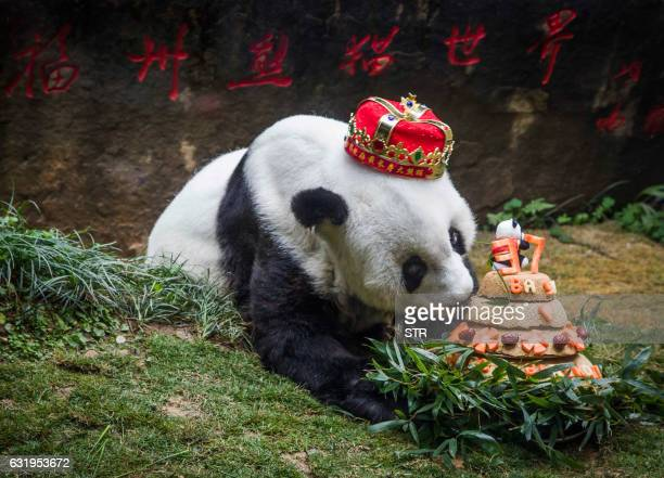 Giant panda Basi sniffs a birthday cake prepared by her keepers at Fuzhou Panda World in Fuzhou east China's Fujian province on January 18 2017 Basi...