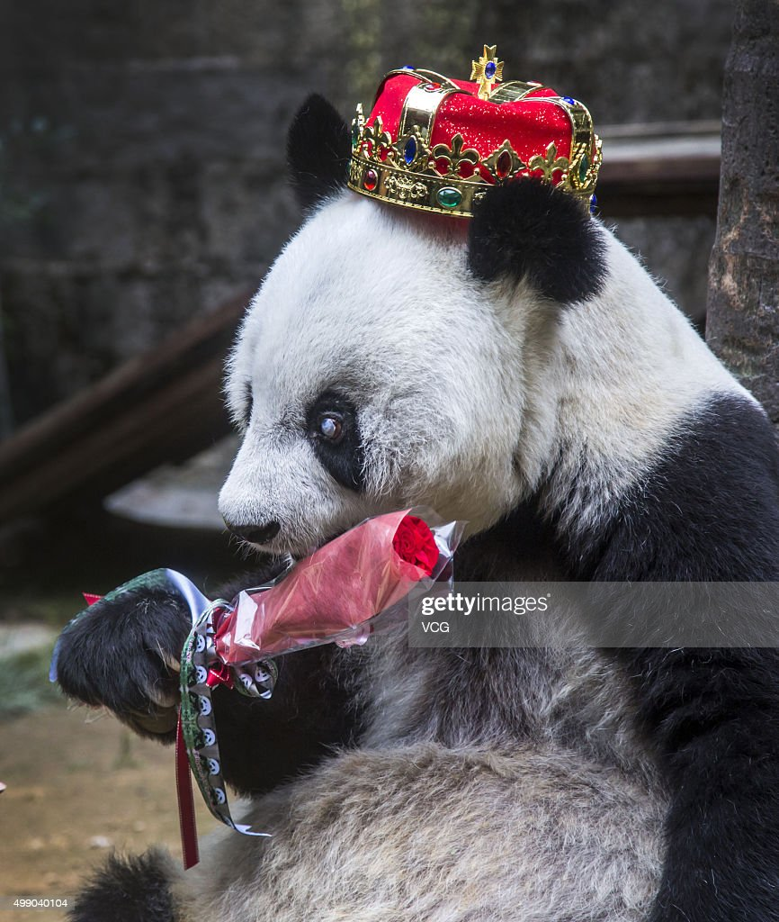 Giant panda Basi wears 'crown' while eating rose during its 35th birthday at Fuzhou Panda World on November 28, 2015 in Fuzhou, Fujian Province of China. Basi celebrated her 35th birthday which roughly equals 130 years in human age. It is currently the oldest living panda so far in the world. Basi visited the U.S. San Diego Zoo for shows in 1987. She attracted around 2.5 million visitors during her six-month stay in the United States and amazed many visitors by her acrobatic performances. In 1990, she was chosen as the prototype for Pan Pan, the mascot for the Beijing Asian Games.