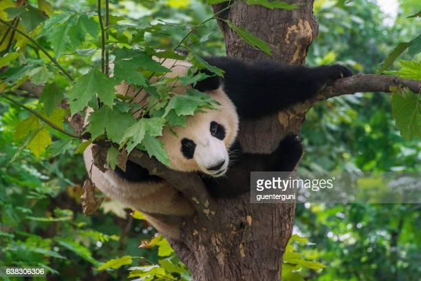 giant panda bear  (ailuropoda melanoleuca) climbing in a tree - panda photos et images de collection