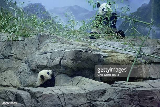 Giant panda bear cub Bao Bao and her mother Mei Xiang move around inside the David M Rubenstein Family Giant Panda Habitat at the Smithsonian...