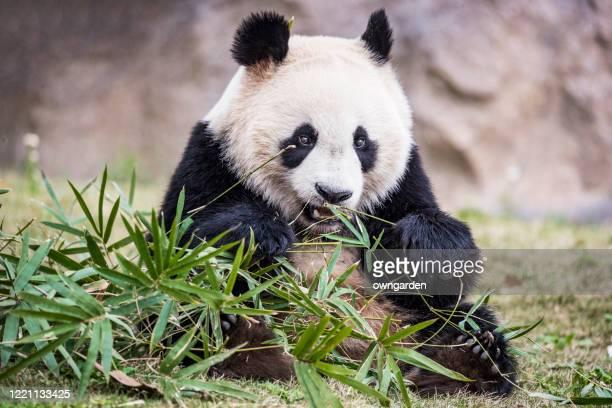 giant panda bear eating bamboo - panda animal stock pictures, royalty-free photos & images