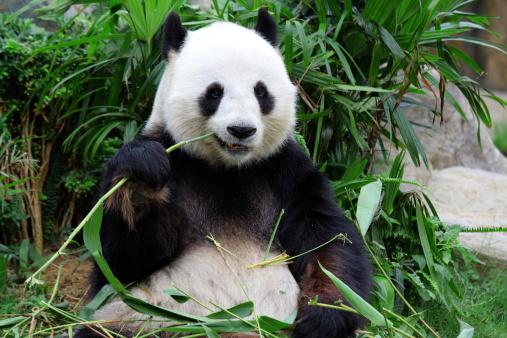 giant panda bear eating bamboo 156285635