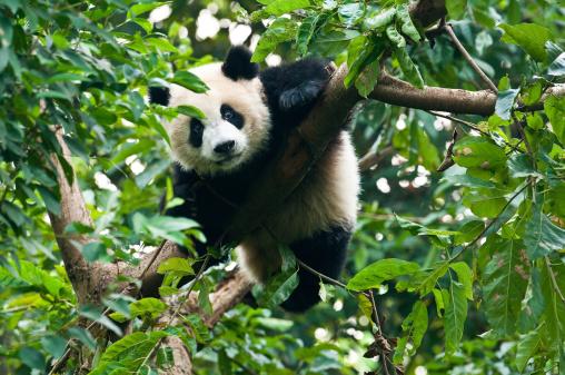 Giant panda bear in tree 481825845