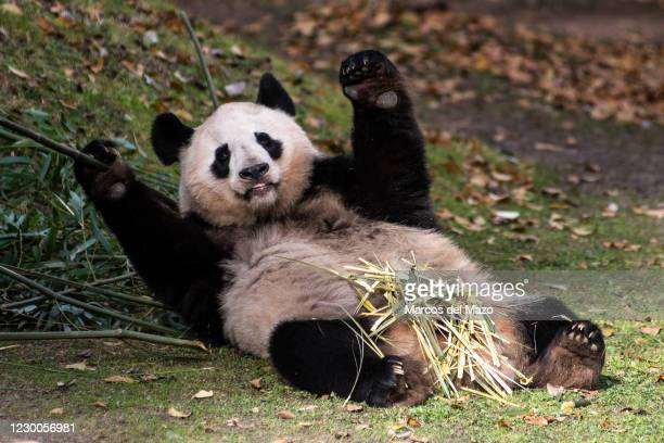 Giant panda bear lying on the grass, pictured in its enclosure in Madrid Zoo. Madrid Zoo is registering little public attendance due to the...