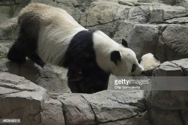 Giant panda bear Mei Xiang grabs her cub Bao Bao by the nape of the neck inside the David M Rubenstein Family Giant Panda Habitat at the Smithsonian...