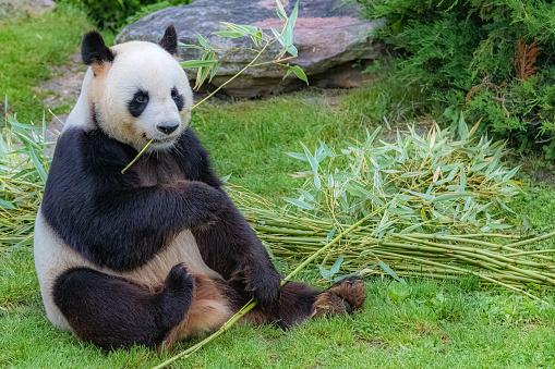 Giant panda, bear panda 1165393426