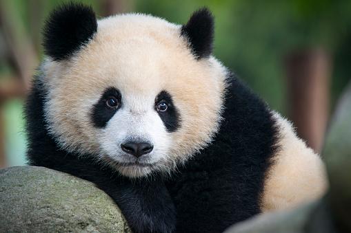 Giant Panda bear  (Ailuropoda melanoleuca) 475636556