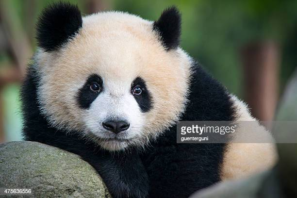 giant panda bear  (ailuropoda melanoleuca) - panda animal stock photos and pictures