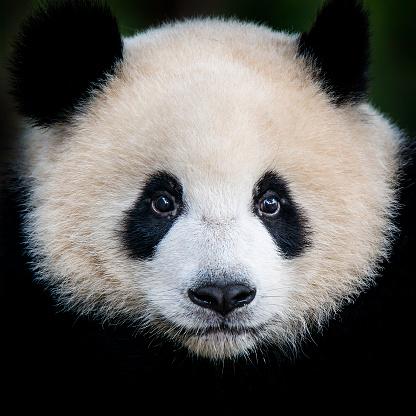 Giant Panda bear  (Ailuropoda melanoleuca) 934878444