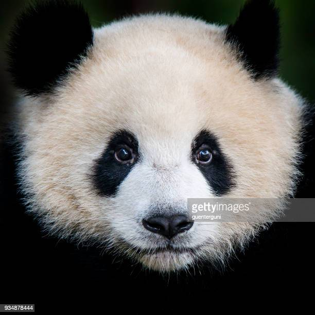 giant panda bear  (ailuropoda melanoleuca) - rare stock pictures, royalty-free photos & images