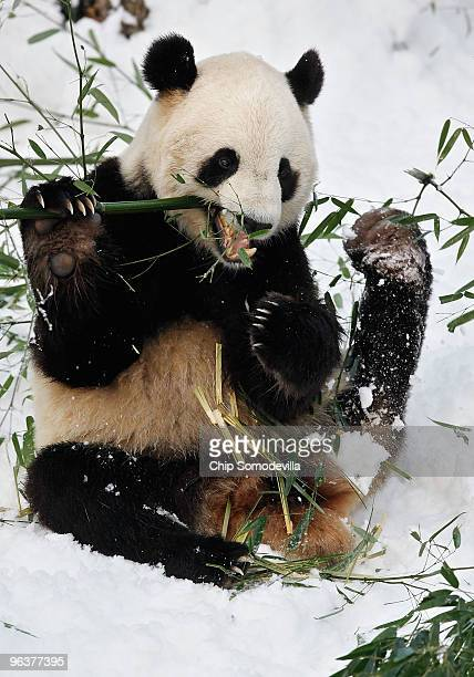 Giant panda bear Tai Shan sits in the snow and eats bamboo at the Smithsonian National Zoological Park February 3 2010 in Washington DC Wednesday was...