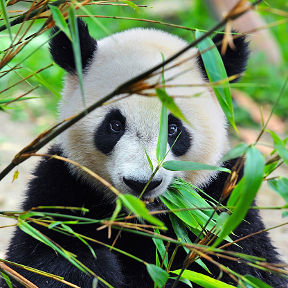 Giant panda bear with bamboo plants 156380717