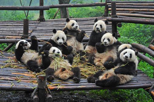 Giant panda bears eating bamboo meal 187971782
