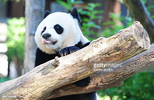 Giant panda Bei Bei plays in his enclosure August 24 2016 at the National Zoo in Washington DC Bei Bei celebrated his first birthday August 20 2016...