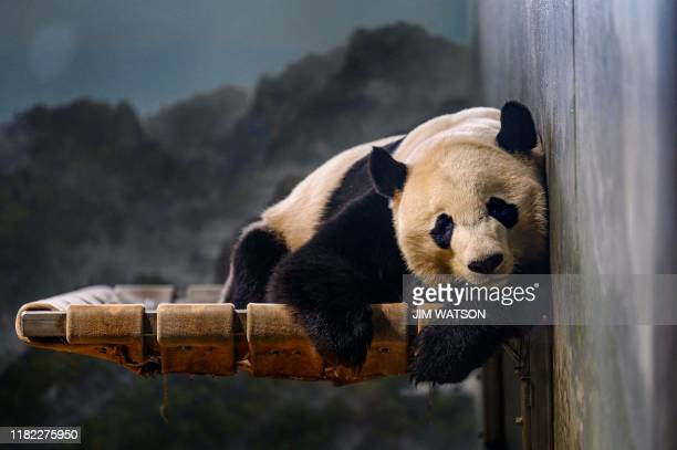 Giant panda Bei Bei rests at the Smithsonian's National Zoo in Washington, DC on November 14, 2019. - Bei Bei will depart the Zoo for China on...