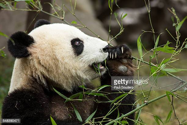giant panda, chengdu, sichuan province, china - giant panda stock pictures, royalty-free photos & images