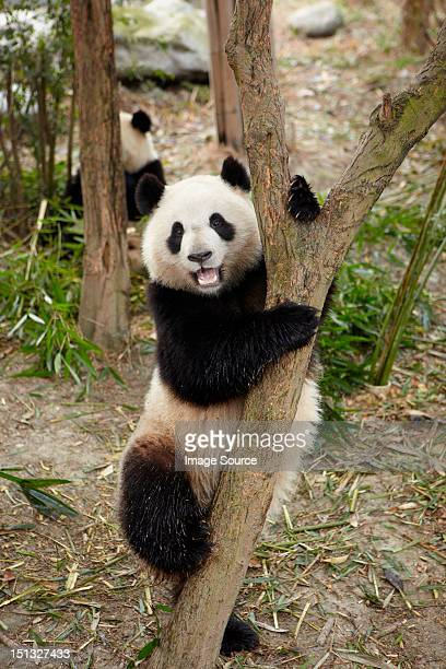 Giant Panda climbing a tree at the Chengdu Panda Breeding Research Center